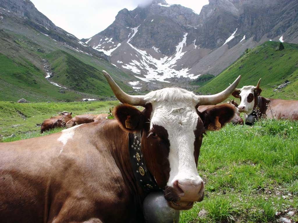 Randonnée en alpage au milieu d'un troupeau de vaches Abondance